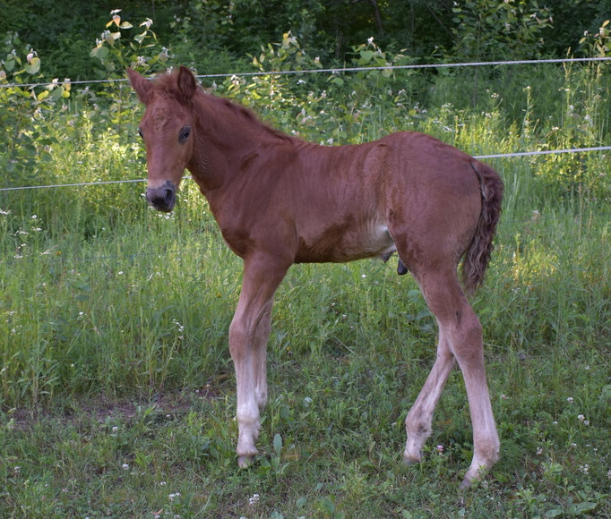 Ostara Silverdawn Adigio  2017 colt, dam Do More Shawnadawn