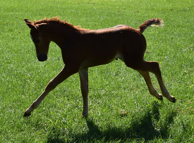 Ostara Silvjenwood Reine 2017 filly , dam Westwind Jennifer