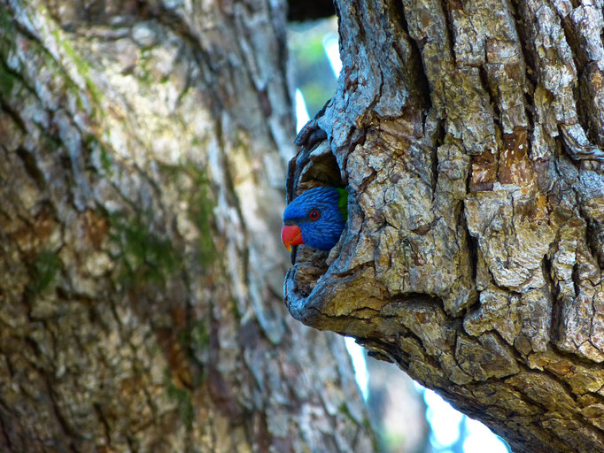 Lorikeet Nesting 2