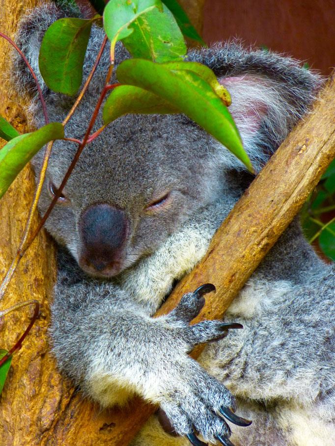 sleeping Koala 1