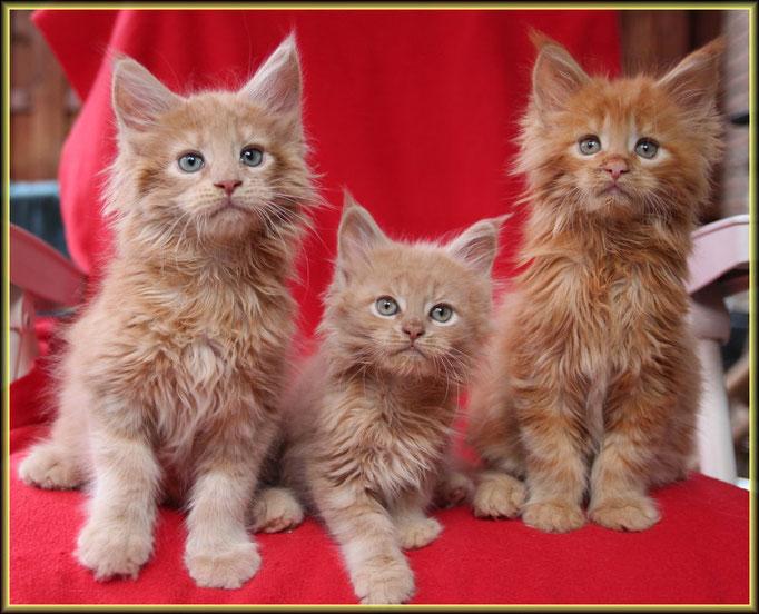Maine Coon Kitten - Katzen Zucht Dantes Peak