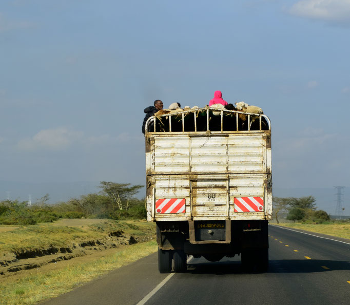 Goat transport