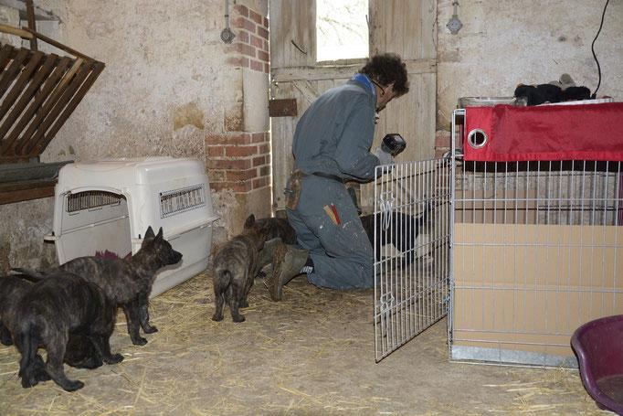 vanwege ijskoude wind/regen verhuizen wij de pups naar de knusse stal