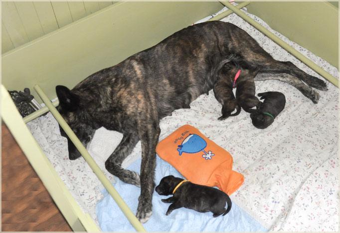 28 augustus 2012 Dido met haar derde nest. Ons H-nest 2 reuen en 2 teven