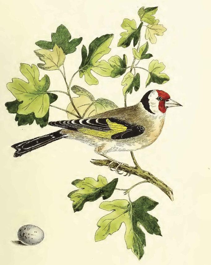 chardonneret élégant, Song Birds of Great Britain by John Cotton, F.Z.S