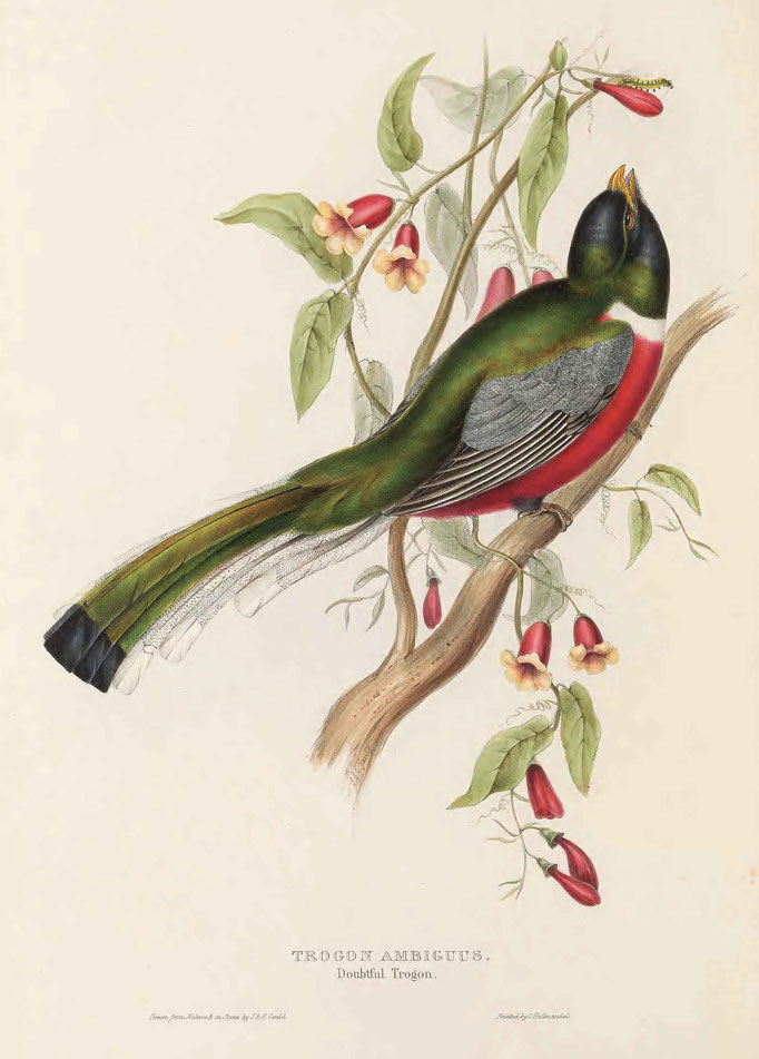 A monograph of the Trogonidae, 1835-1838