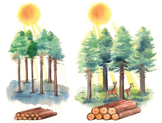 Illustration du rôle des éclaircies dans une forêt de résineux