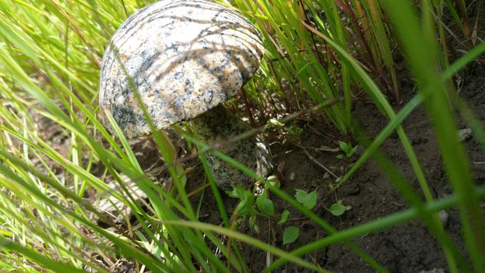 champignon granit