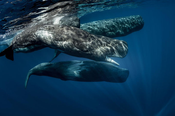Azores-Whale-Watching-Copyright--Willyam-Bradberry-resize