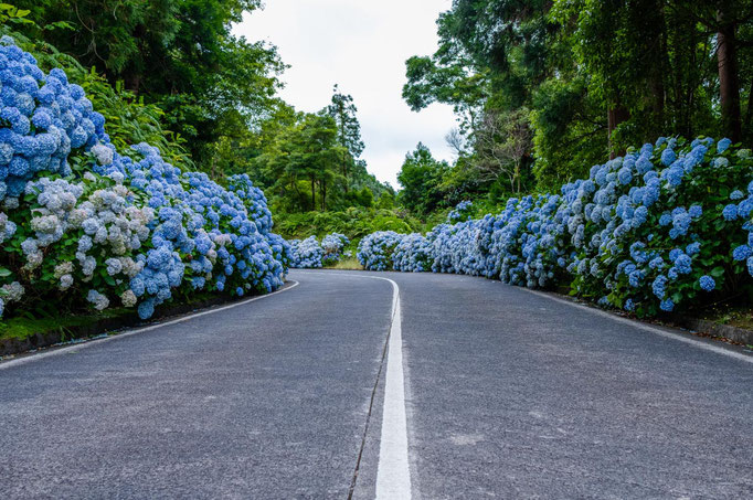 Azores-Hydrangea-Sao-Miguel-Copyright-Vitor-Miranda---resize