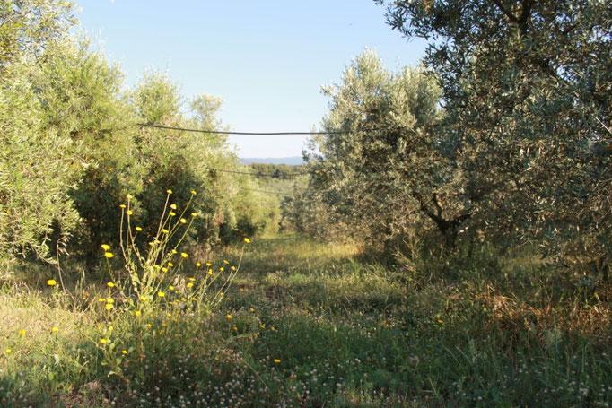giugno: oliveta