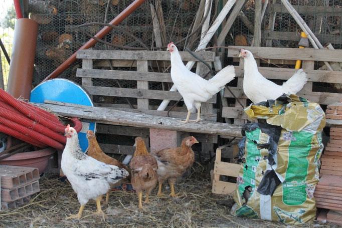 giugno: polli e pollaio
