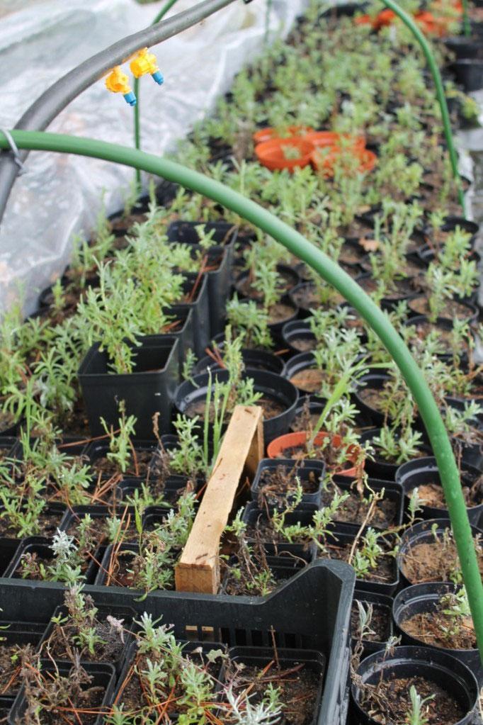 Novembre: una piccola serra per le piante di lavanda