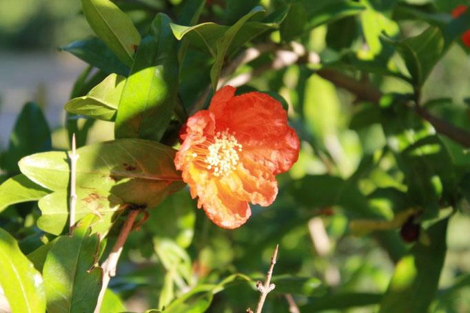 giugno: melograno in fiore
