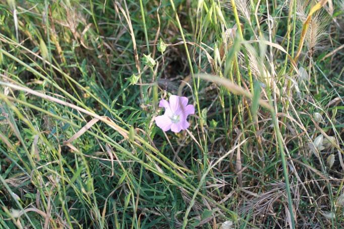giugno:campo in fiore
