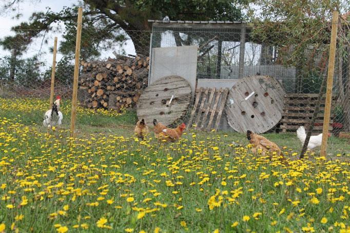 Novembre: galline nell'aia