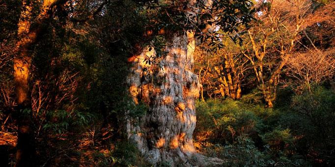 朝焼けする縄文杉