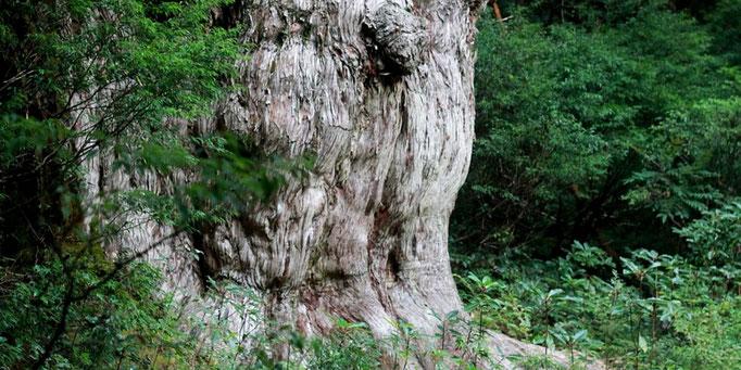 樹齢7,200年の迫力、縄文杉