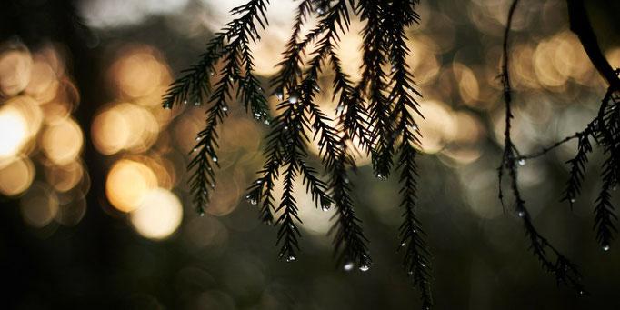 雨しずくが朝日に輝く