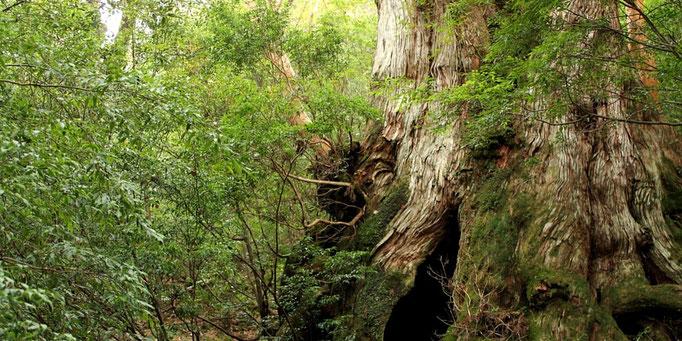 樹齢3,000年の大王杉