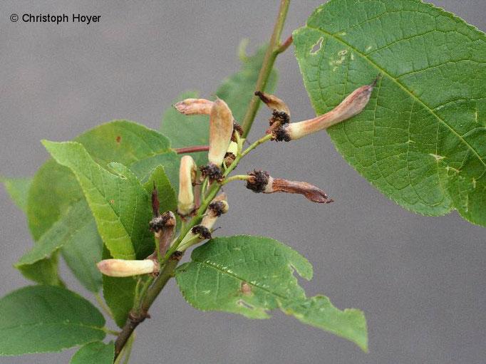 Narren- oder Taschenkrankheit (Taphrina padi) an Traubenkirsche (Prunus padus)