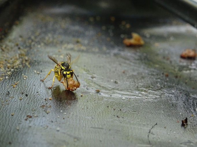 Auch Wespen wollen etwas von unserem Grill abbekommen :o))