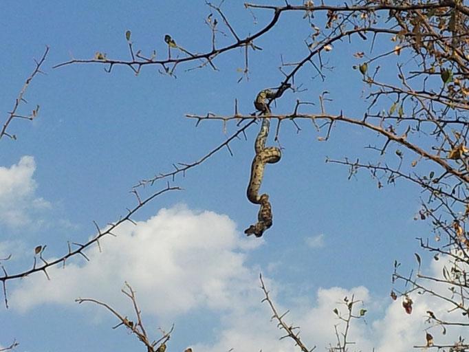 Diese Schlange verschlingt gerade einen Vogel