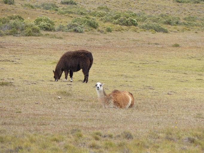 Die ersten Lamas, die wir sehen