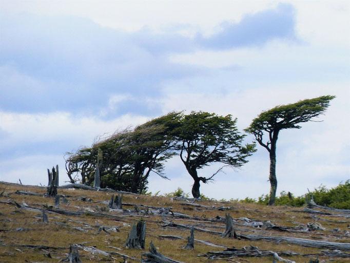 Die vom patagonischen Wind geplagten Bäume