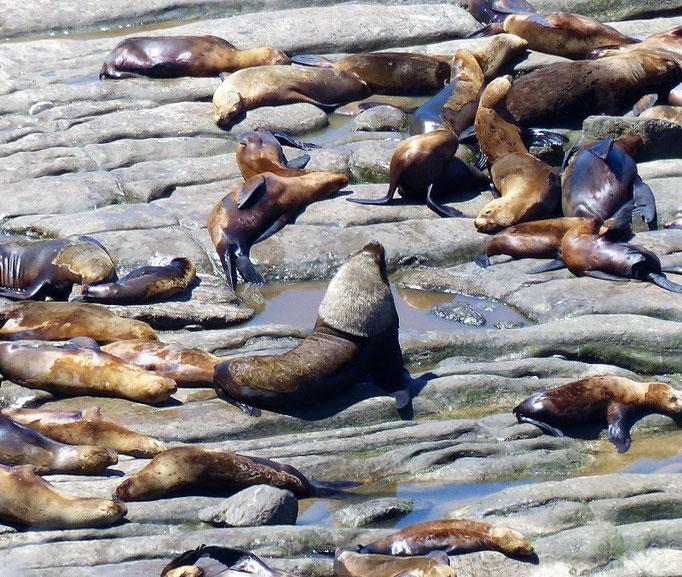 Das Seelöwen-Männchen mit seiner prächtigen Mähne