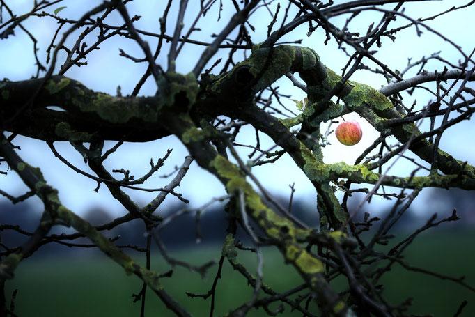 Apfel im Winter (Bilm, Hotel im Glück) - Fotografiert an einem sehr kaltem Tag