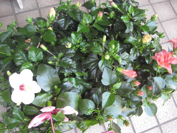 変わり咲き品種にハイビスカス