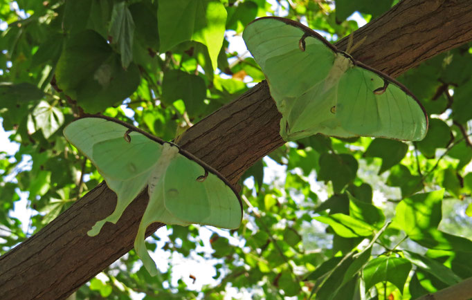 Actias Luna / Luna Moth