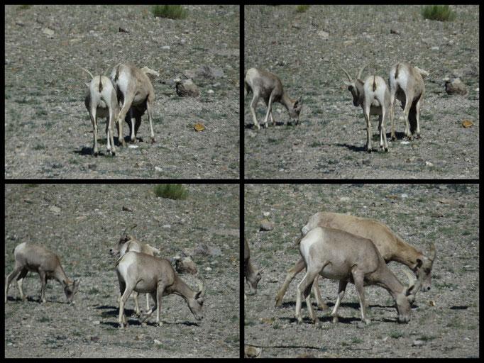 Bighorn Sheep ??