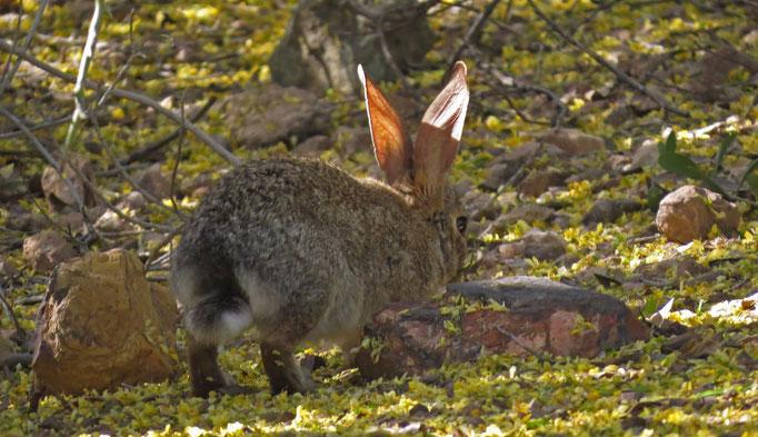 Baumwollschwanzkaninchen (auch ausserhalb des Parks noch gesehen...) / Cottontail Rabbit
