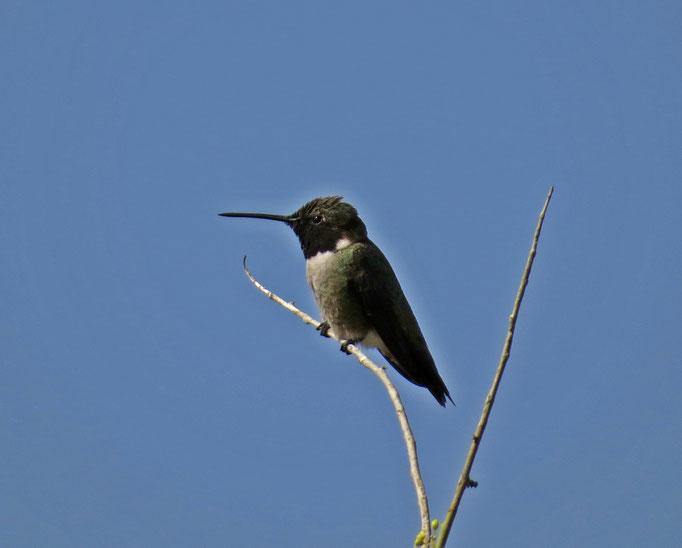 Kolibri / hummingbird