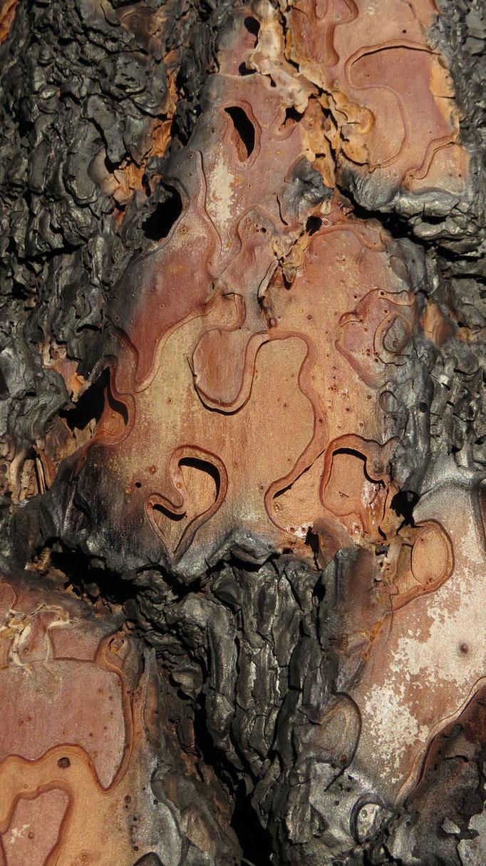 Brandspuren an einem noch lebenden Baum