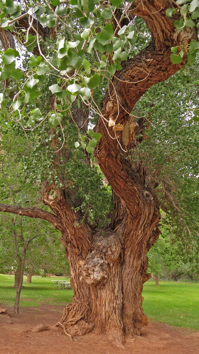 Pappel (Cottonwood)