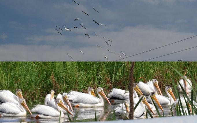 Pelikane im südlichen Oregon
