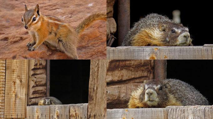 hab Paulas Verwandet gefunden ;-) das Hörnchen war beim Corona Arch, das Murmeltier im Capitol Reef