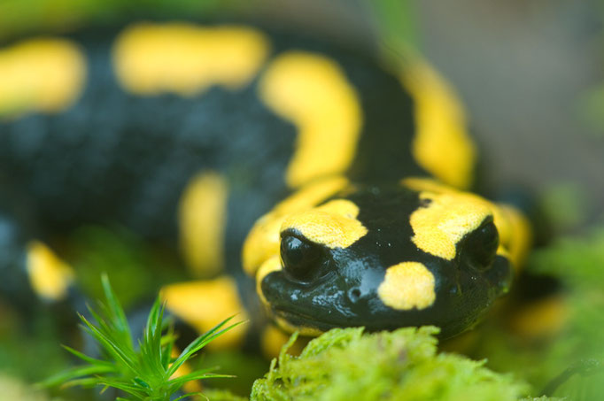 Feuersalamander (Salamandra salamandra ssp. terrestris) [UKR20090429_0362]