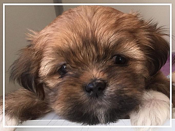 Leuke donker gekleurde Boomer kruising gesocialiseerde pup
