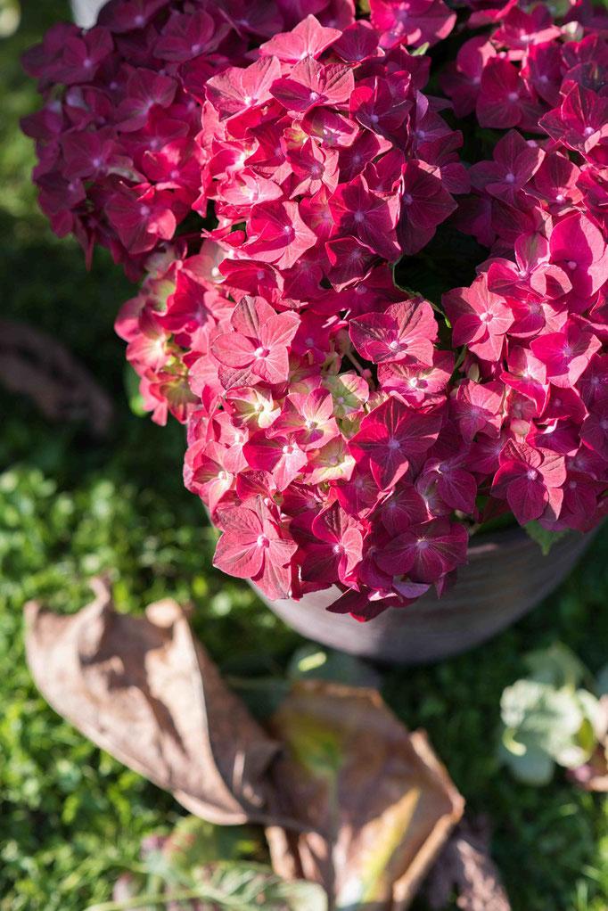 ©Magical_hortensia_Ruby Tuesday_Magical Four Seasons