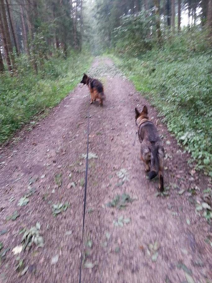 Waldlauf mit Jacko (vorne) und Baby (hinten) 09.09.14