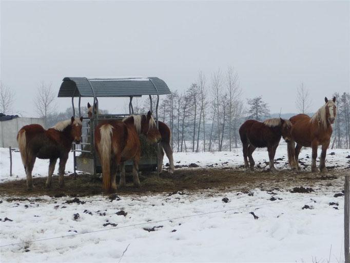 Chevaux en hiver (jan. 2010)