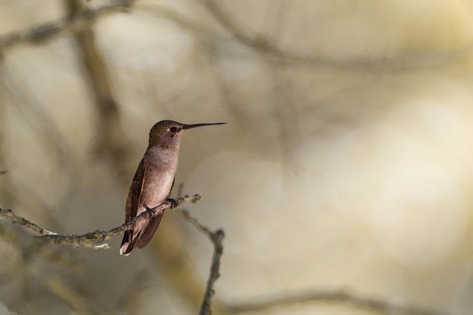 Weiblicher Schwarzkinnkolibri (Archilochus alexandri) im Zion National Park