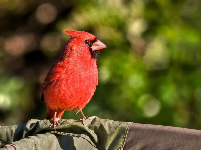 Roter Kardinal (Cardinalis cardinalis)