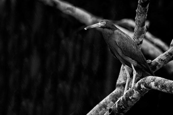 Blaureiher (Egretta caerulea)