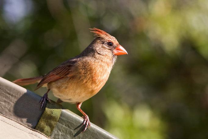 Weibchen des Roten Kardinals (Cardinalis cardinalis),