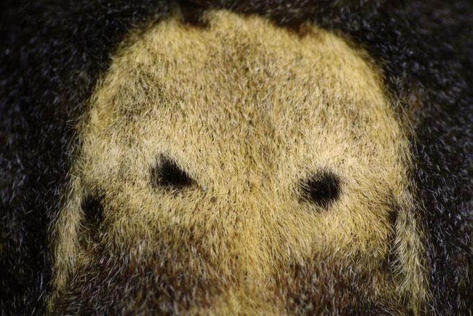 Wer guckt da so grimmig? Es ist die Rückenzeichnung des Totenkopfschwärmers.